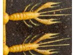 "Jackall Waver Shrimp 2.7 ""(69mm)"